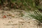 Equisetum ramosissimum subsp. ramosissimum