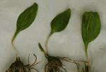 Ophioglossum costatum