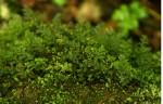 Polyphlebium borbonicum
