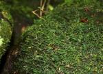 Crepidomanes inopinatum