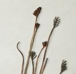 Schizaea tenella