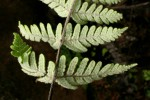 Cheilanthes inaequalis