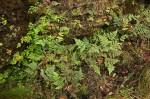 Cheilanthes buchananii
