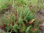 Cheilanthes viridis var. glauca