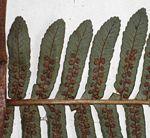 Cyathea mossambicensis