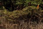 Pteridium aquilinum subsp. capense