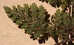 Hypolepis sparsisora