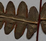 Histiopteris incisa