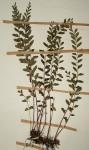 Lindsaea odorata
