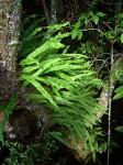 Lepisorus excavatus