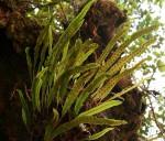 Lepisorus schraderi