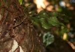 Microgramma mauritiana