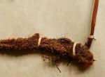 Davallia chaerophylloides