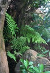 Amauropelta bergiana var. bergiana