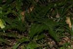 Arachniodes webbiana subsp. foliosa