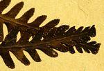Arthropteris orientalis