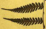 Arthropteris monocarpa