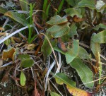 Elaphoglossum deckenii