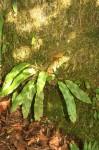 Elaphoglossum hybridum