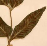Asplenium mossambicense