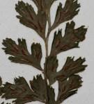 Asplenium varians subsp. fimbriatum