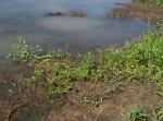 Marsilea macrocarpa