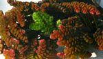 Azolla filiculoides