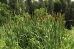 Typha capensis