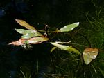 Potamogeton nodosus