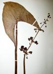 Limnophyton obtusifolium