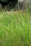 Eragrostis aethiopica