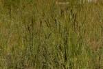 Eragrostis chapelieri