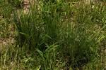 Eragrostis hispida