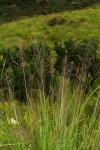 Eragrostis mollior