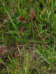 Eragrostis patens