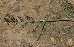 Eragrostis racemosa