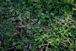 Eragrostis tenuifolia
