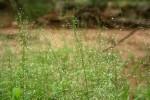 Eragrostis viscosa