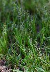 Sporobolus molleri