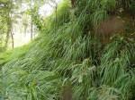 Setaria lindenbergiana