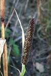 Cenchrus americanus