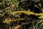 Cenchrus purpureus