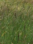 Arundinella nepalensis