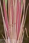 Imperata cylindrica