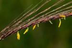 Trachypogon spicatus