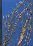 Andropogon eucomus subsp. huillensis