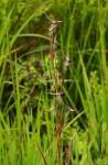 Hyparrhenia newtonii var. newtonii