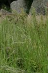 Heteropogon contortus