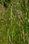 Hemarthria altissima