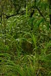 Rottboellia cochinchinensis